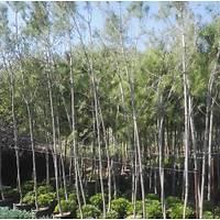 100 Adet Fýstýk Çamý, 3- 4 Metre  pinus pinea, Saksýlý