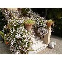 Arap Yasemini Rhyncospermum jasminoides