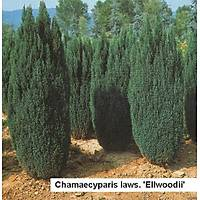 Elwoodii Servi (Chamaecyparis lawsoniana Ellwoodii) Elvudi Çamý