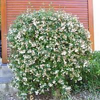 5 Adet Abelya Çiçeði (Güzellik Çalýsý) 40-50 cm abelia chinensis
