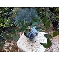5 Adet Kýrmýzý-Sarý-Beyaz Çiçekli Kokulu Hanýmeli, Tüplü Dikime Hazýr