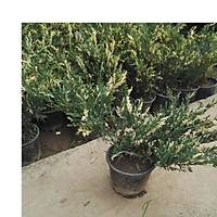1.000 Adet Alacalý Ardýç Juniperus Variegata, Saksýda, 30-40 Cm. Boyunda