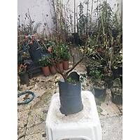 BODUR BEGONVÝL ÇÝÇEÐÝ bougainvillea buttiana