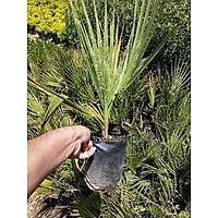 Palmiye Fidaný, (Chamaerops Washingtonia Filifera) Naylon Torbada, Her Mevsim Dikile Bilir