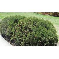 grevillea rosmarinifolia GRAVÝLLA YAYILICI FÝDANI