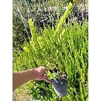 4 Adet Yaban Mersini, Siyah Murt (Hambeles), Tüplü Her Mevsim Dikilebilir