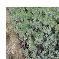 10 Adet Lavanta Fidaný lavandula officinalis, Kargo Dahil