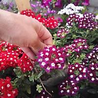 40 Adet, Tüplü, Dikime Hazýr Karýþýk Renkli Mine Çiçeði, Mevsimlik Çiçekler
