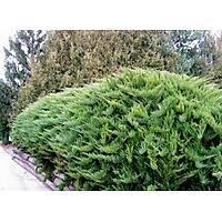 100 Adet Sabin Ardýcý, Juniperus sabina Saksýda, 40-50 Cm. Boyunda