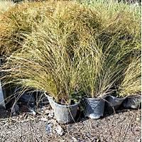 10 Adet Carex elata aurea (Altuni yapraklý kareks) (CYPERACEAE)