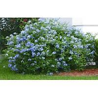 10 Adet Mavi yasemin, Plumbago auriculata, 20-40 Cm. Tüplü.