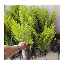 (1.000 Adet) Üreticiden  Limon Çamý, Limon Servi, 60-80 Cm. Boyunda,