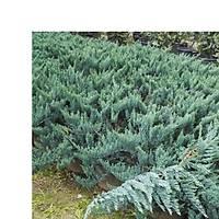 Mavi Yayýlýcý Ardýç, Juniperus Squamata Blue Carpet, Saksýlý