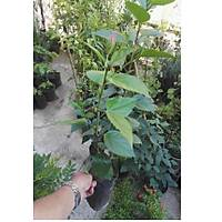 4 Adet (Chinese Rose) Japon Gülü , Tüplü, 30-40 Cm. Boyunda