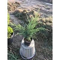 10 Adet Sabin Ardýcý, Juniperus sabina Saksýda, 40-50 Cm. Boyunda