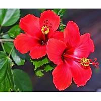 2 Adet Tüplü, 30-40 Cm. Boyunda Japon Gülü (Chinese Rose )