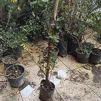 2 Adet Kýrmýzý-Sarý-Beyaz Çiçekli Kokulu Hanýmeli, Tüplü Dikime Hazýr