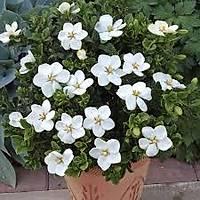 10 Adet Gardenya Çiçeüði, 20-30 Cm. gardenia jasminoides