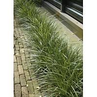 10 Adet Saksýlý Carex morrowii variegata (Alaca yapraklý kareks) (CYPERACEAE)