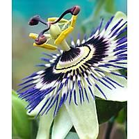 Çarkýfelek armaþýðý (saat çiçeði) passiflora caeruea, Tüplü Her Mevsim Dikilebilir