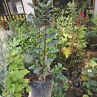 DEFNE FÝDANI laurus nobilis