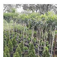 100 ADET TÝJLÝ ZAKKUM AÐACI 1,70-1,80 metre nerium oleander