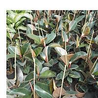 Üreticiden, Ficus Elastica Kauçuk Çiçeði, Kargo Dahil, Saksýlý
