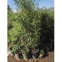 Sarý Bambu fidaný, Bambusa Phyllostachys aurea 160-200 cm.
