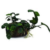 Akvaryum Dekoru Bitkili Fýçý EBAT: 12,5x9x8,5 cm