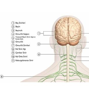 Sinir Sistemi 70x100 cm