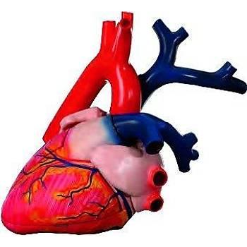 Kalp Modeli Büyük