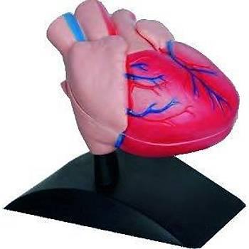Kalp Modeli Küçük