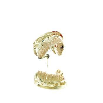 Endodonti Çene Modeli