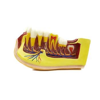 Mandibular & Endodonti Büyük Çene Eðitim Modeli