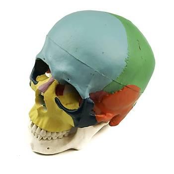Skull Model - Kafatasý Modeli