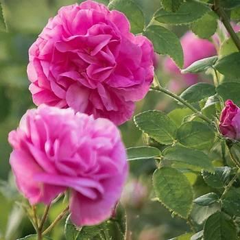 Saf Doðal Isparta Gül Suyu 1000 Ml 1 Litre Organic Rose Water