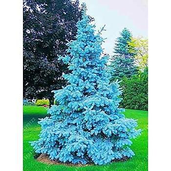 Mavi Ladin Çam Fidaný 35-45 Cm Picea Pungens Hoopsii
