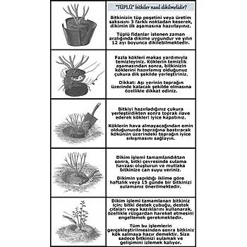 Saksýlý Yediveren Pembe Beyaz Sarmaþýk Ponpon Gül Fidaný 15-25 Cm