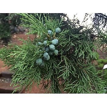 Boz Ardýç Fidaný 3 Yaþ 15-25 Cm 5 Adet Juniperus Excelsa