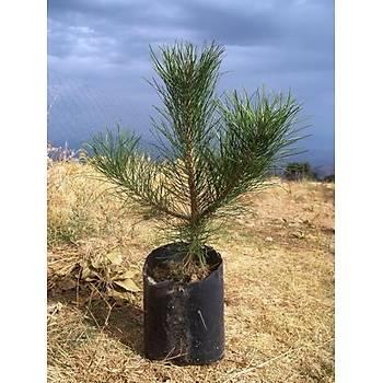 Tüplü Karaçam Fidaný (Pinus Nigra) 20-30 cm