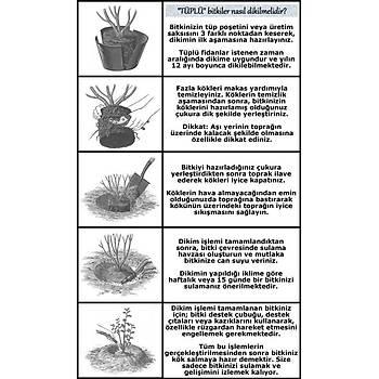 Cüce Boy Aromatik Lavanta Fidaný 10 Adet Angustifolia