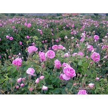Gülköy Saf Isparta Gül Suyu 1 Adet 5 Litre Organic Rose Water
