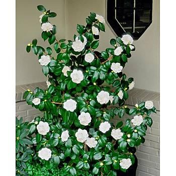 Tüplü Katmerli Beyaz Kamelya Fidaný 10-20 Cm Camellia Japonica