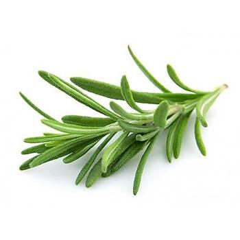 Biberiye Fidaný 5 Adet 20-30 Cm (Rosmarinus officinalis)