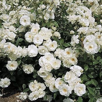 Beyaz Yediveren Sarmaþýk Gül Fidaný 5 Adet 15-25 Cm
