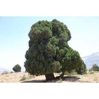 Boz Ardýç Fidaný 2-3 Yaþ 15-25 Cm 1 Adet Juniperus Excelsa