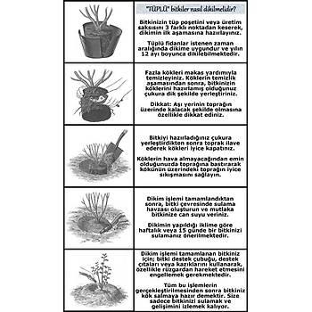 Pembe Beyaz Yediveren Sarmaþýk Ponpon Gül Fidaný 15-25 Cm