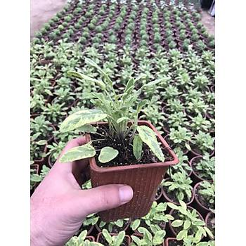 Saksýlý Limoni Sarý Alacalý Adaçayý Fidaný 10-20 Cm 1 Adet Salvia