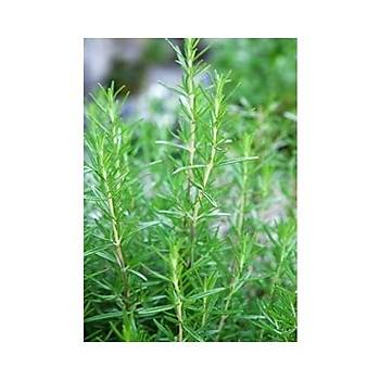 Saksýda Biberiye Fidaný 1 Adet 15-25 Cm (Rosmarinus officinalis)
