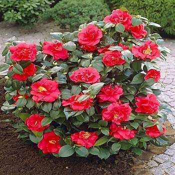 Tüplü Katmerli Kýrmýzý Kamelya Fidaný 10-20 Cm Camellia Japonica